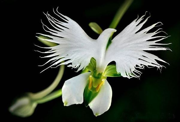 holy-spirit-orchid